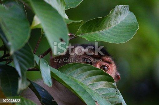 Macaque at Sabah, Borneo