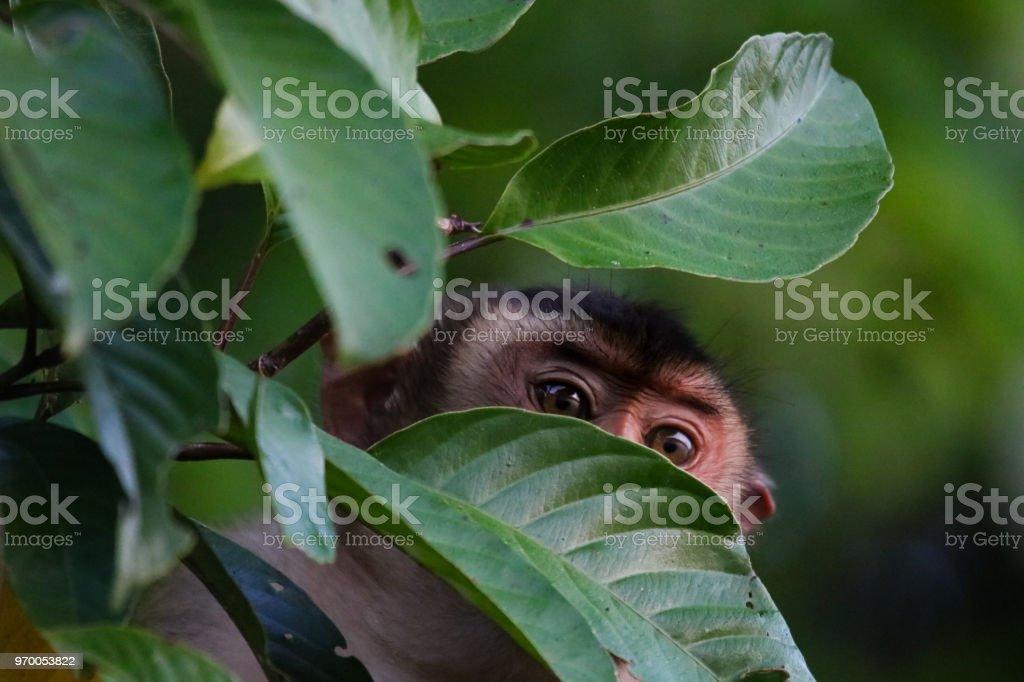 Macaque - Sabah, Borneo stock photo