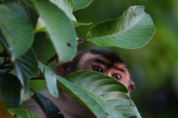 macaque - sabah, borneo - macaco foto e immagini stock