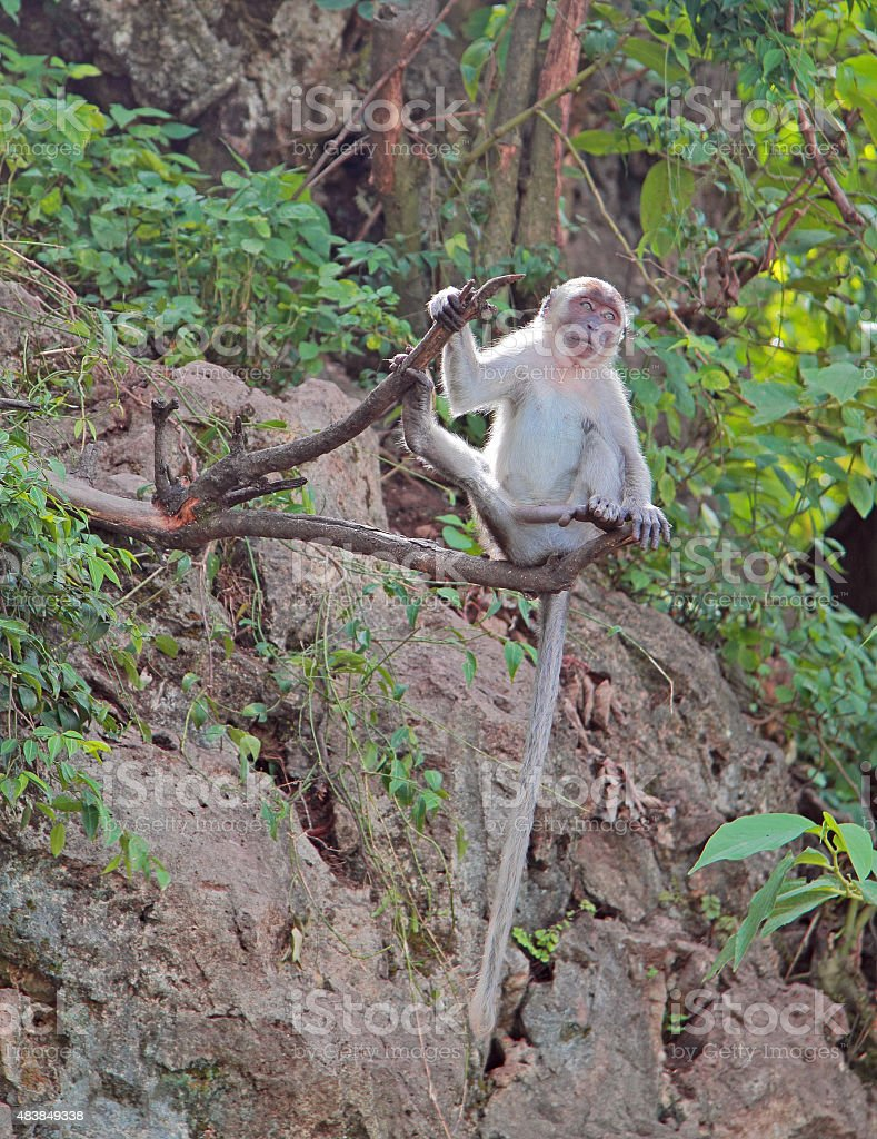 macaque with long tail is sitting on a tree stock photo