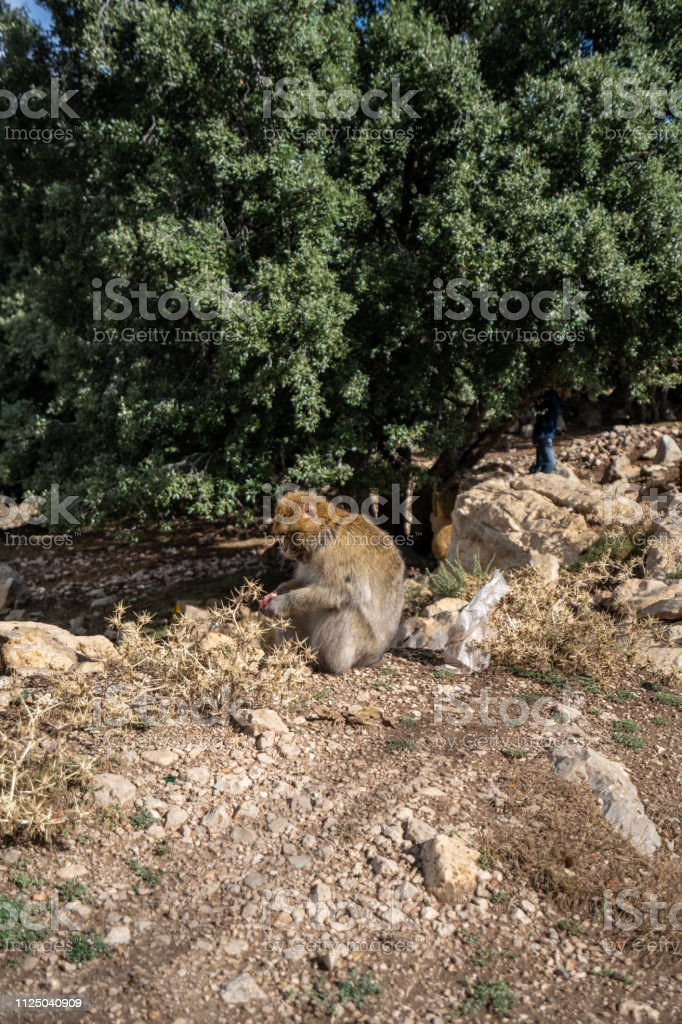 Macaques are waiting for tourists to pass by and give them some food to eat, Morocco stock photo