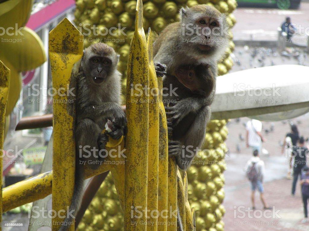 Macaques at Batu Cave Temple, Kuala Lumpur, Malaysia stock photo
