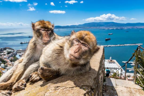 macaques à gibraltar - singe magot photos et images de collection