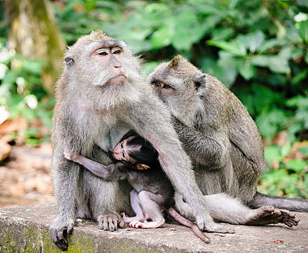 Macaques in Indonesia stock photo
