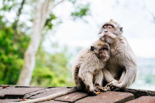Macaques on the north of Bali Long-tailed macaques Macaca fascicularis on Bali, Indonesia animal family stock pictures, royalty-free photos & images