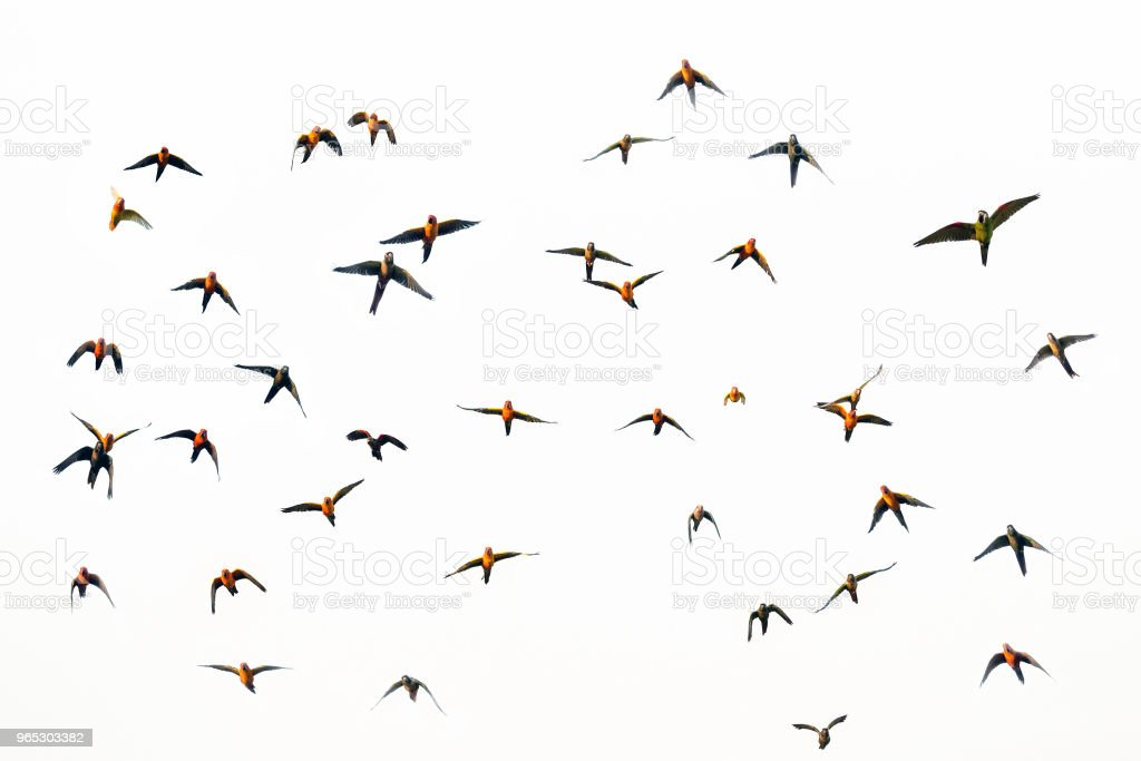 Macaw and Sun Conure Flock of flying. royalty-free stock photo