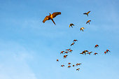 Macaw and Sun Conure Flock of flying in the sky and enjoy.