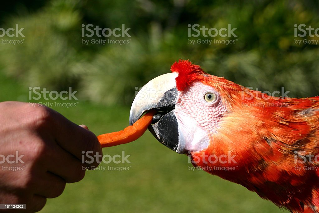 Macaw being fed royalty-free stock photo