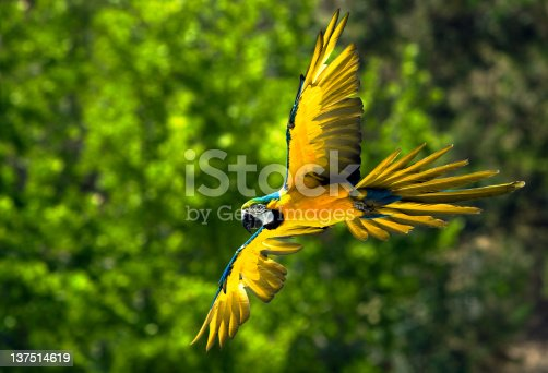 istock Macaw bird in flight 137514619