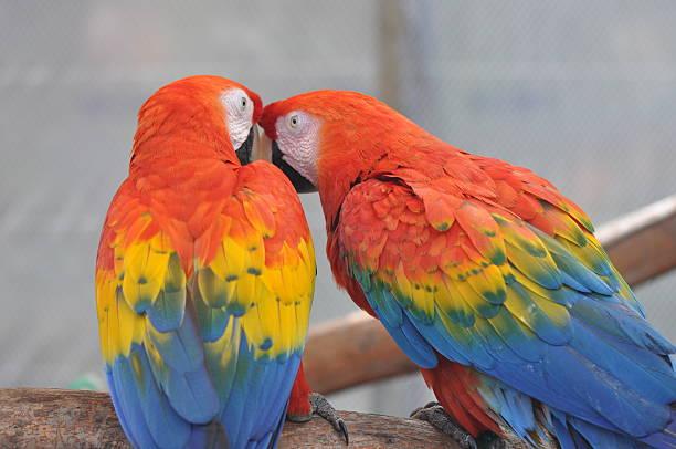 Macaw Birds telling secrets stock photo