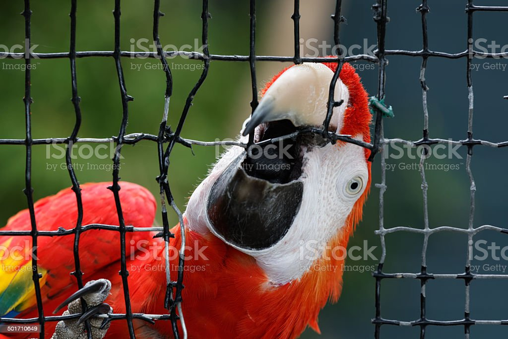 Macaw breaking out stock photo
