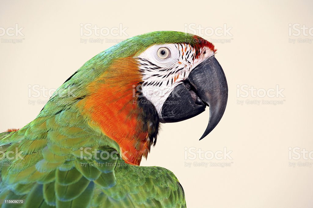 Macaw closeup stock photo