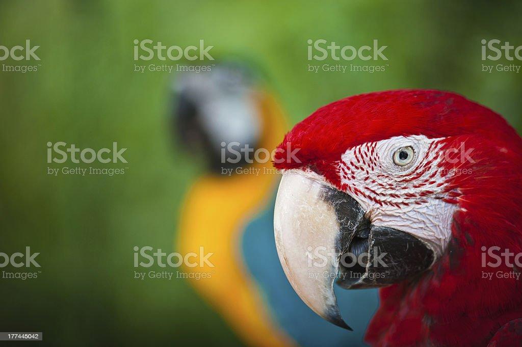 Macaw couple stock photo