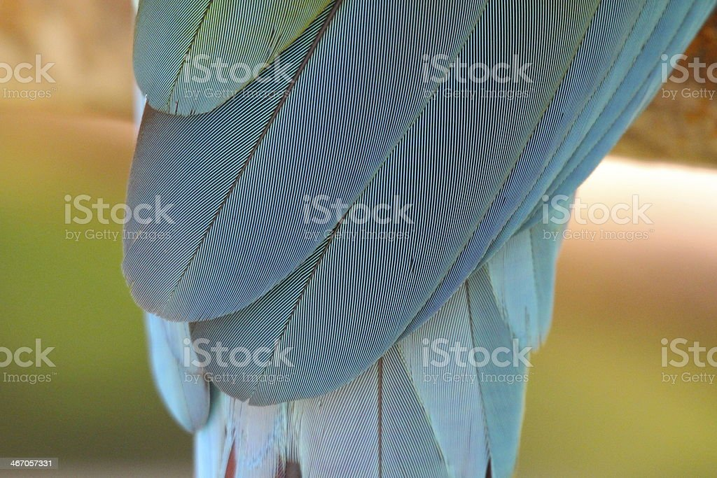 Macaw feathers Macaw parrot stock photo