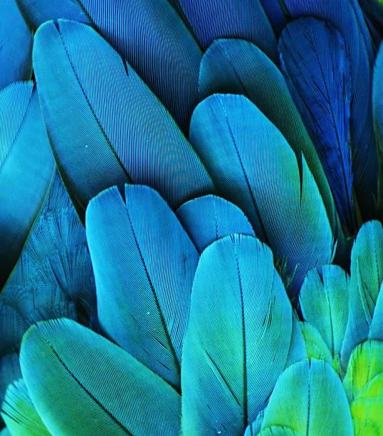 ara piume (verde/blu) - piume colorate foto e immagini stock