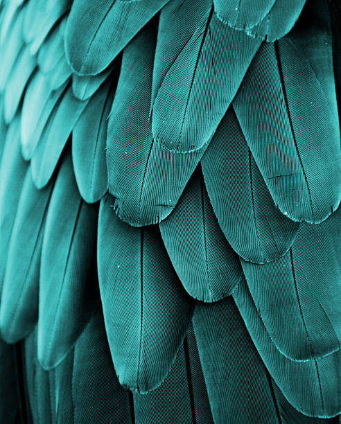 macaw feathers (turquoise) - green winged macaw stock photos and pictures