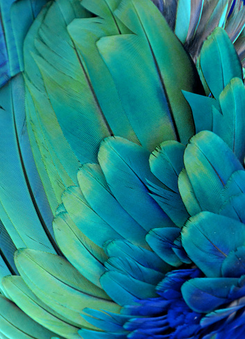 Macaw Feathers Stock Photo - Download Image Now