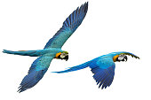 Ara macaw and Blue and Gold macaw perhed on a branch.