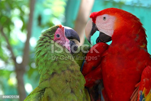 istock Macaw love - A red & a green parrot looking lovingly towards each other & talking, Roatan, Honduras, Central America. 899620128