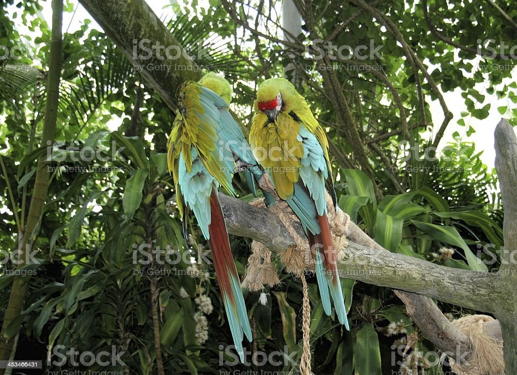 Macaw 'Military' Birds in Rain Forest stock photo