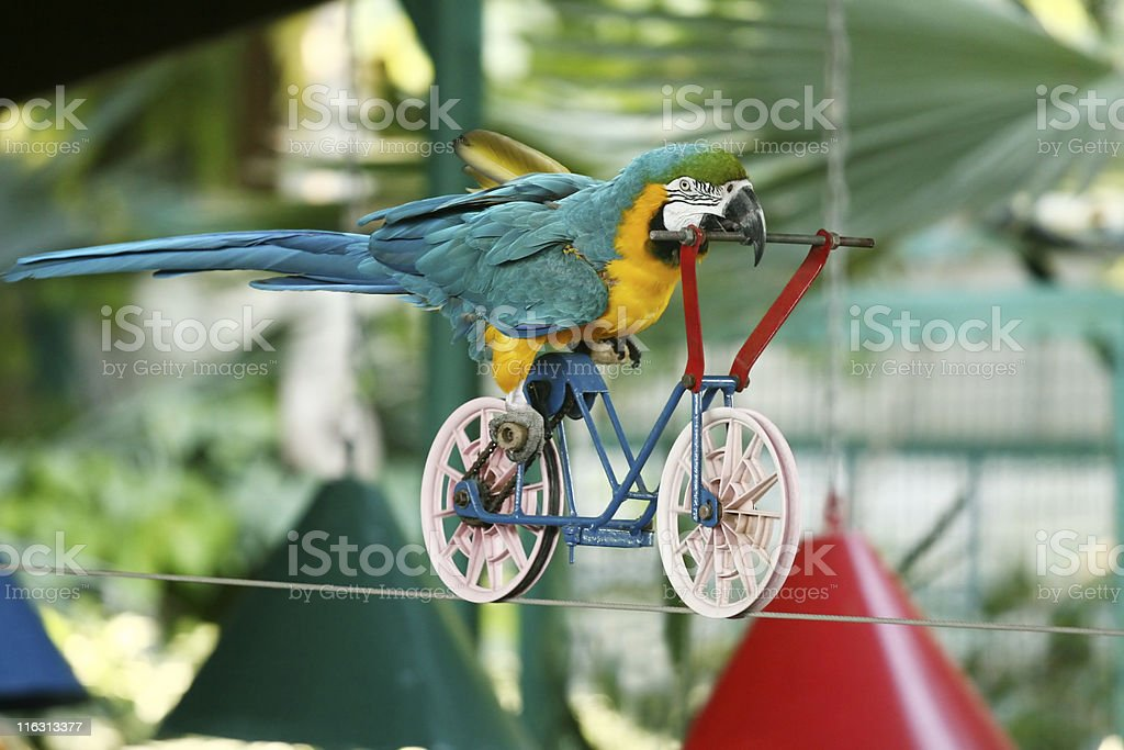 Macaw parrot driving bicycle on rope stock photo