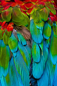 Close-up of macaw parrot feather on the back and wings