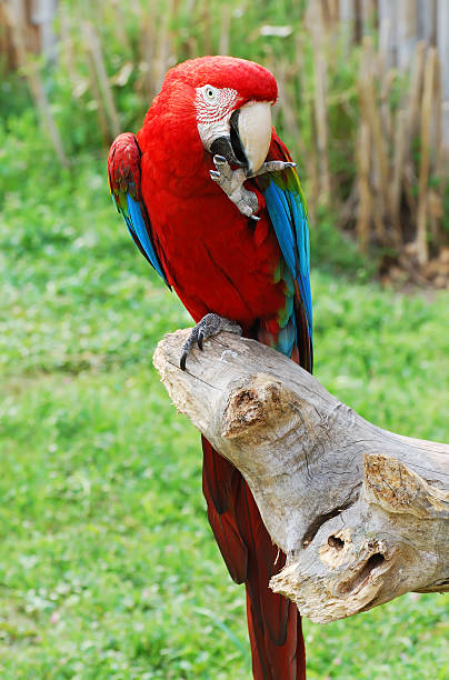 Macaw Parrot grooming stock photo