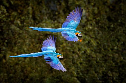 Macaw parrot in flight. Big blue Ara ararauna in the dark green forest habitat in Pantanal, Brazil. Action wildlife scene from South America. Bird in the tropic green forest. MAcaw in the habitat.