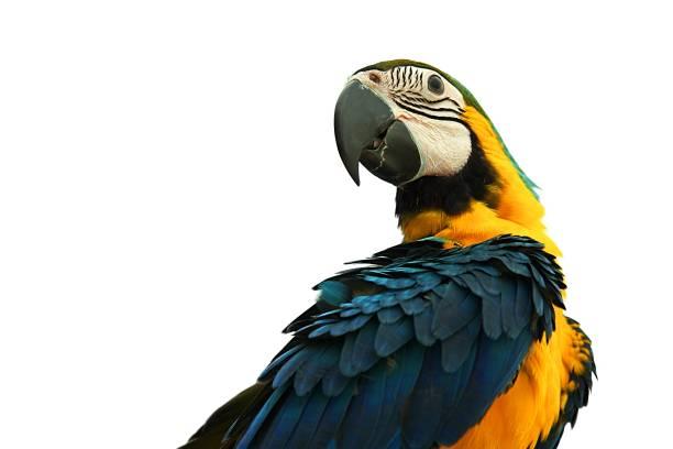 perroquet ara isolé sur fond blanc: close up - animaux familiers exotiques photos et images de collection
