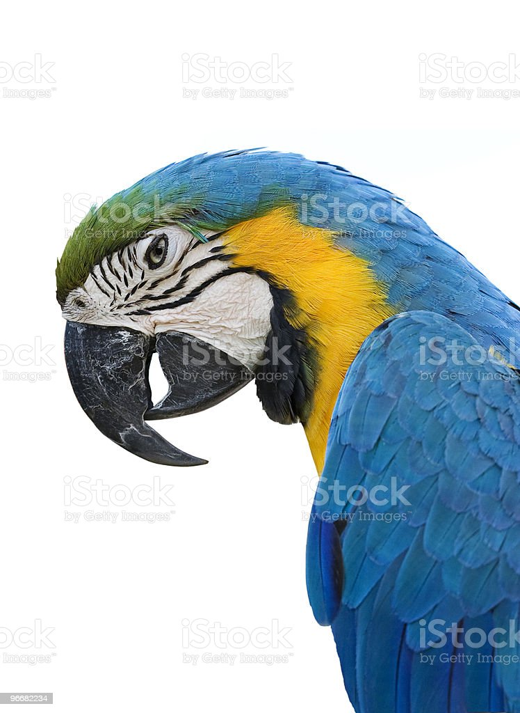 Macaw Parrot on white royalty-free stock photo
