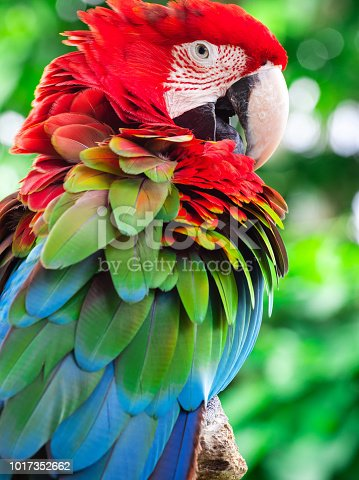 Macaw parrot close up