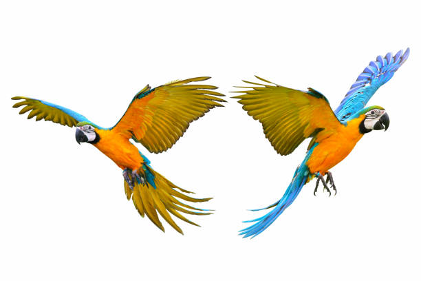 macaw parrot Macaw parrot isolated on white background parrot stock pictures, royalty-free photos & images