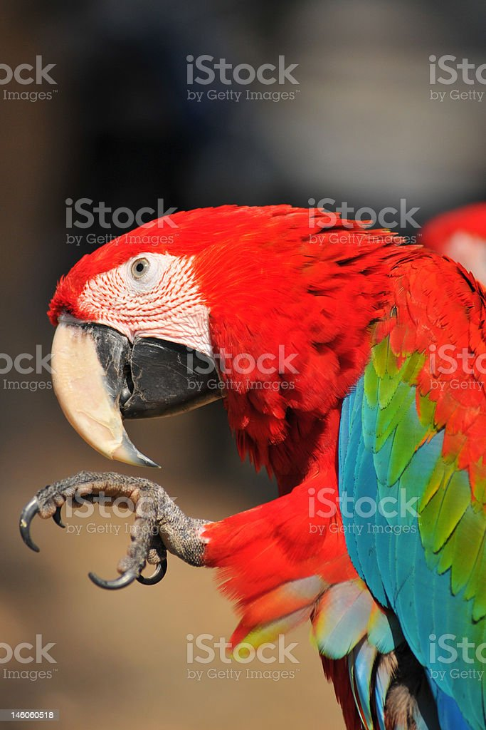 Macaw Parrot royalty-free stock photo