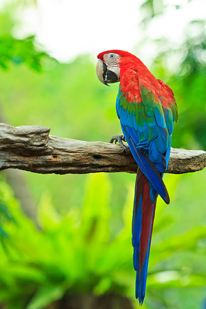 macaw parrot - green winged macaw stock photos and pictures