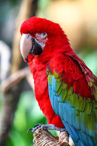 macaw parrot with vibrant colors - arara vermelha retrato - fotografias e filmes do acervo