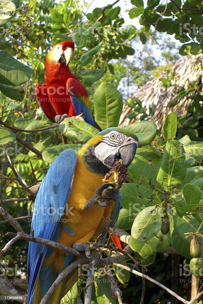 macaw royalty-free stock photo