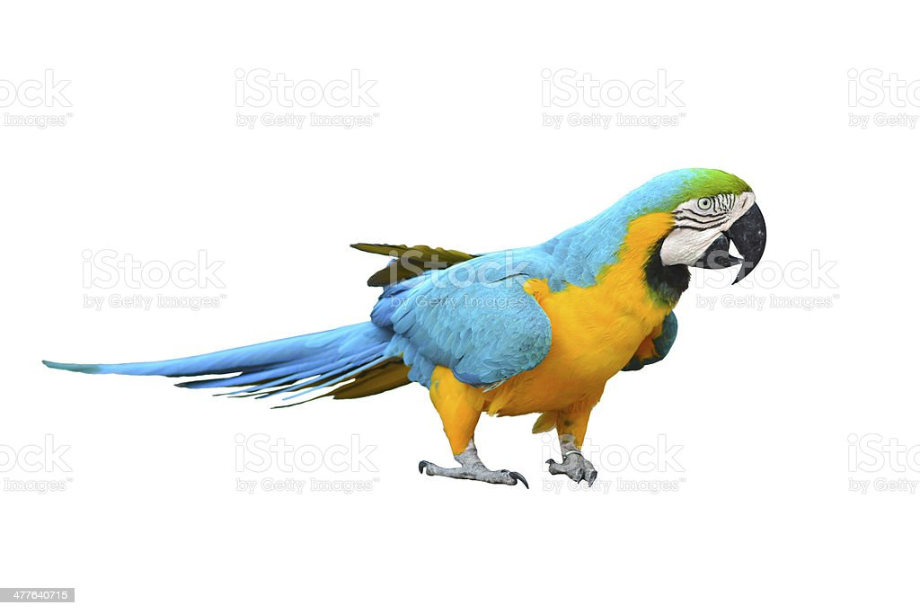 Macaw royalty-free stock photo