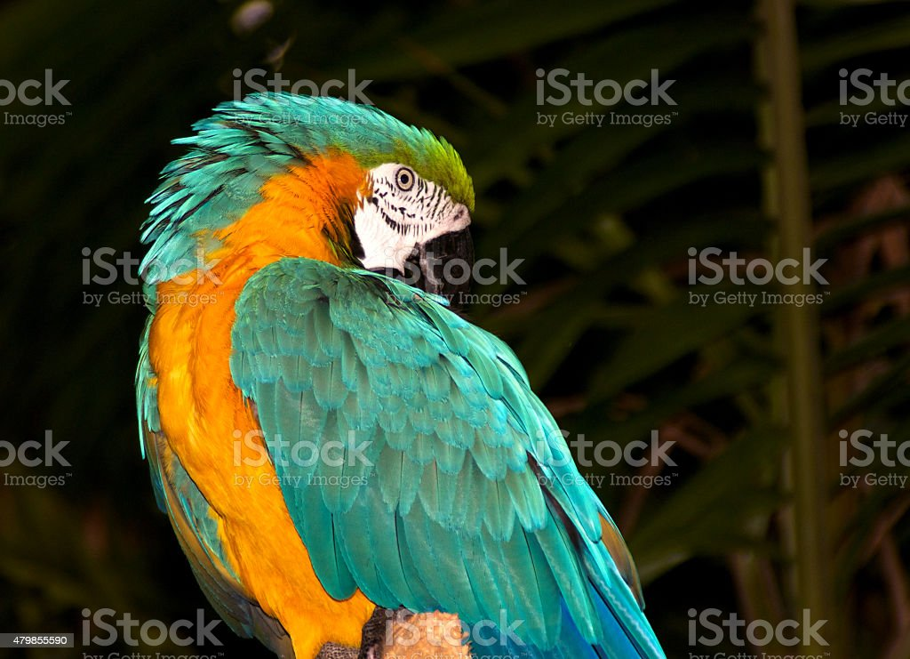 Macaw Preening stock photo
