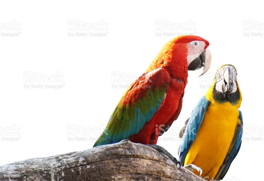 Macaws bird isolated on white background with clipping path. stock photo