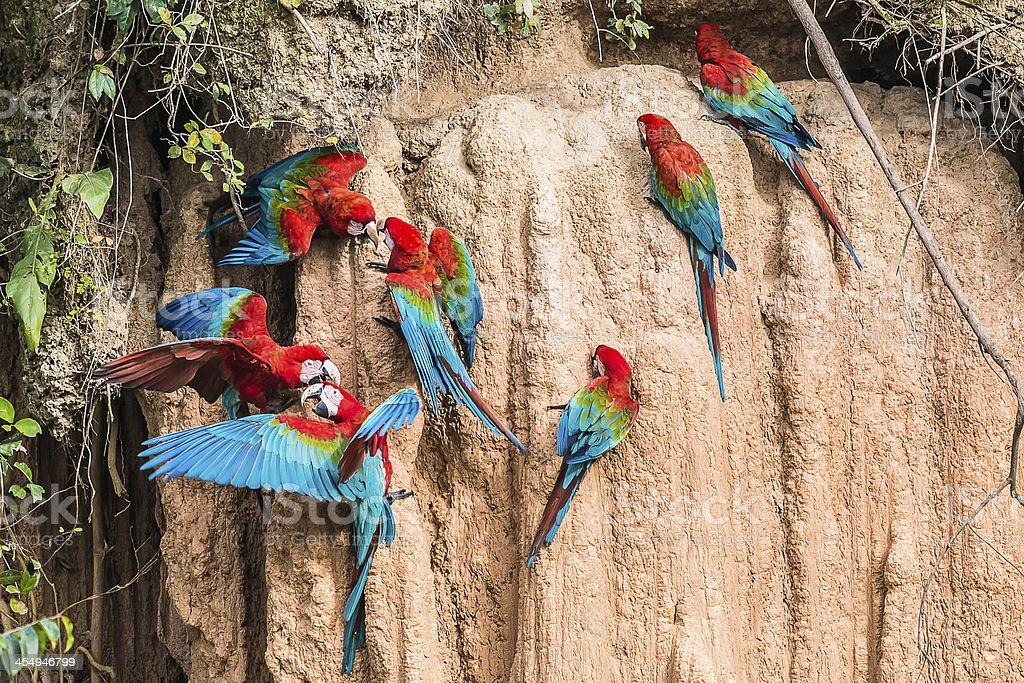 macaws clay lick peruvian Amazon jungle Madre de Dios Peru stock photo