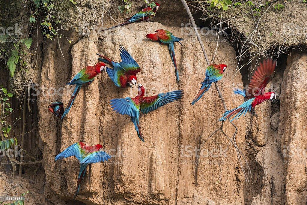 macaws clay lick peruvian amazon jungle Madre de Dios stock photo