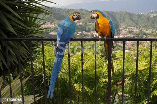 Macaws in Venezuela fly freely, they have abandoned their natural habitat and you can find them in greater quantity in Caracas, they are fed by the community, they live in trees, parks, squares and avenues. In their natural habitat, these birds seek a mate for the rest of their lives.