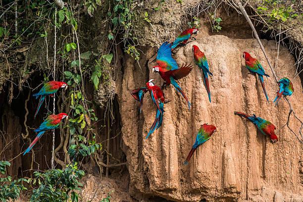 macaws in the peruvian Amazon jungle at Madre de Dios stock photo