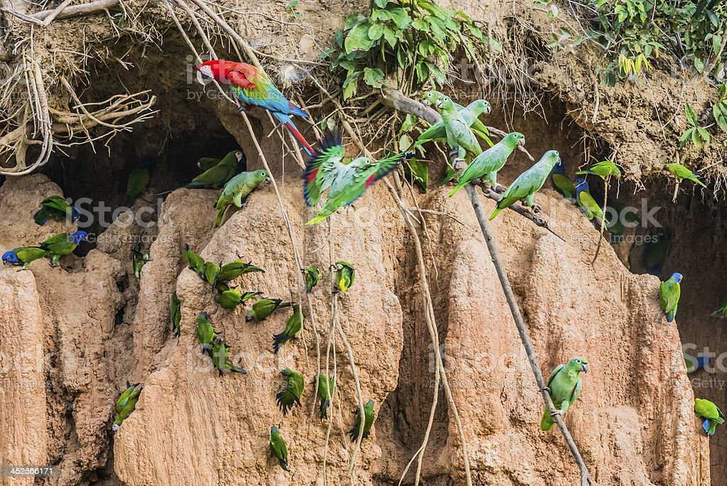 macaws parrots clay lick peruvian Amazon jungle stock photo