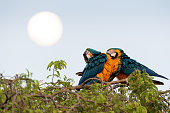istock 2 macaws parrots sit on a tree top with a full moon background, Pantanal, Brazil. 1227311514