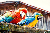 Photo of a scarlet macaw and a blue macaw above a wooden fence.