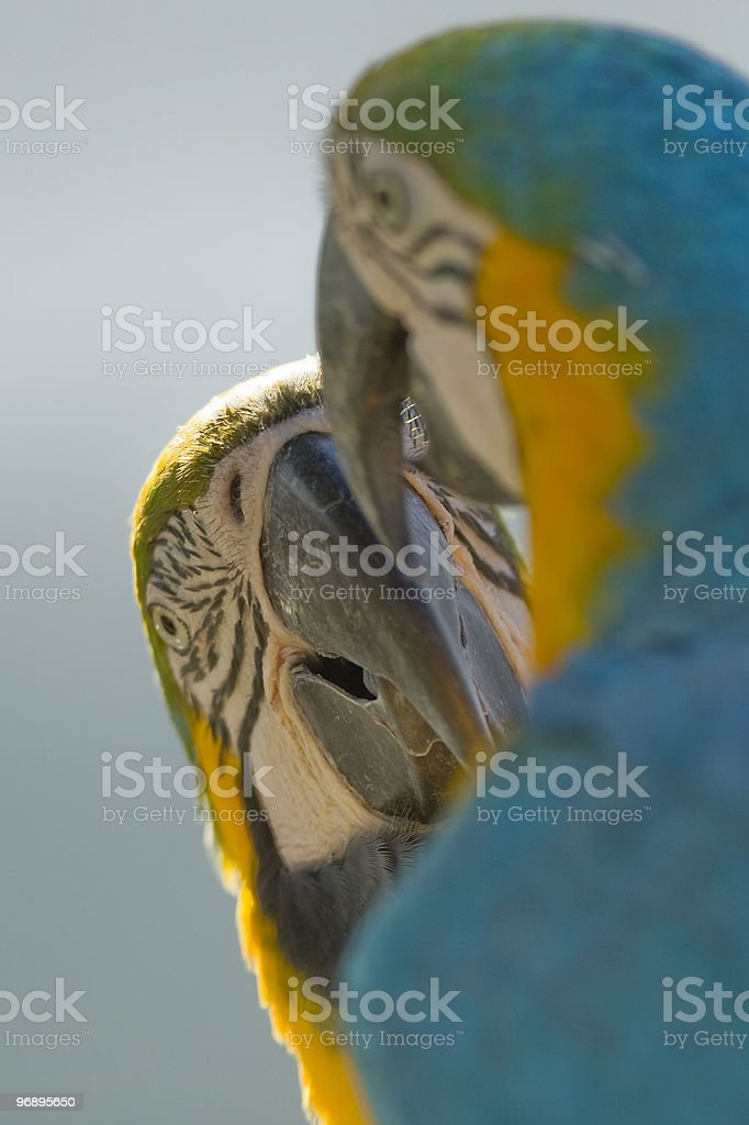 Macaws royalty-free stock photo