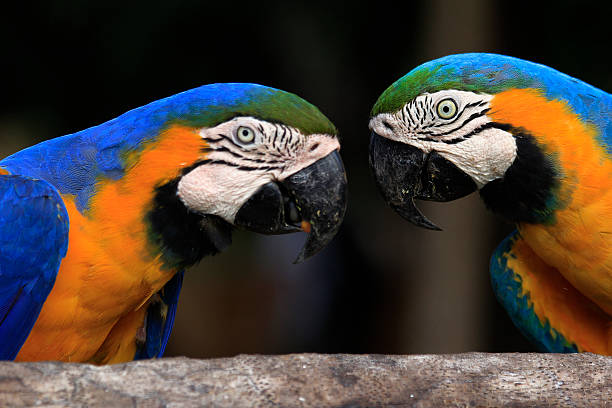Macaws Sisters Blue and Golds Macaws eating caiman stock pictures, royalty-free photos & images