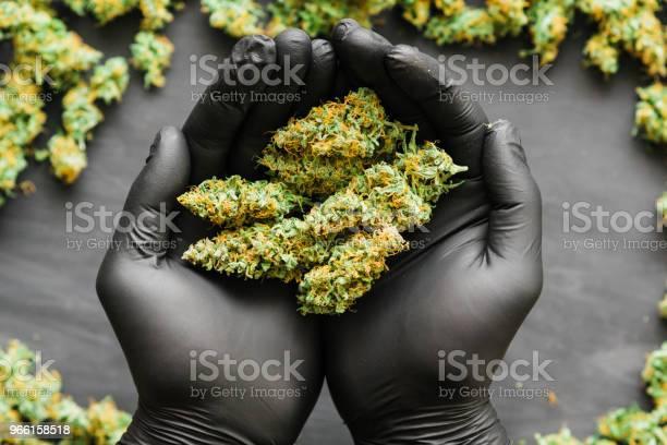 Mach Färska Gröna Knoppar Cannabis I Hand Gemensamma I Hand En Massa Marijuana Färska Knoppar Cannabis Många Ogräs Kopiera Spase Kopiautrymme-foton och fler bilder på Fotografi - Bild