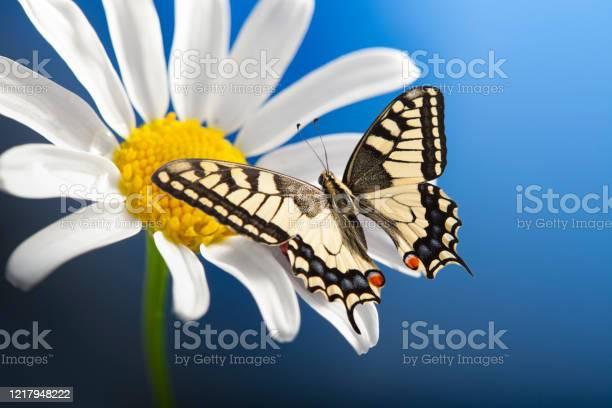Machaon butterfly with open wings on wild chamomile picture id1217948222?b=1&k=6&m=1217948222&s=612x612&h=9gi5 esi9ikgrzugwdfhrwsuo5fne8ivrw q43fjgwy=